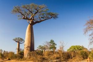 baobab01