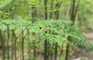 moringatree